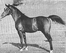 Witez, a Polish Arabian.